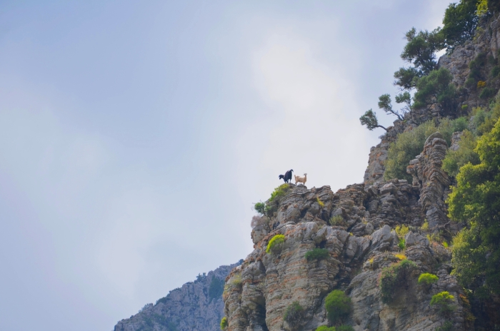 Goats on a mountain at the Aegean
