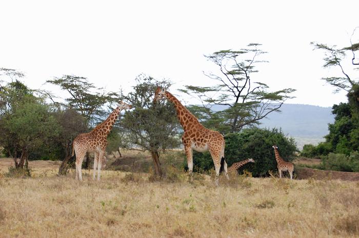 Giraffen im Nakuru Nationalpark in Kenia
