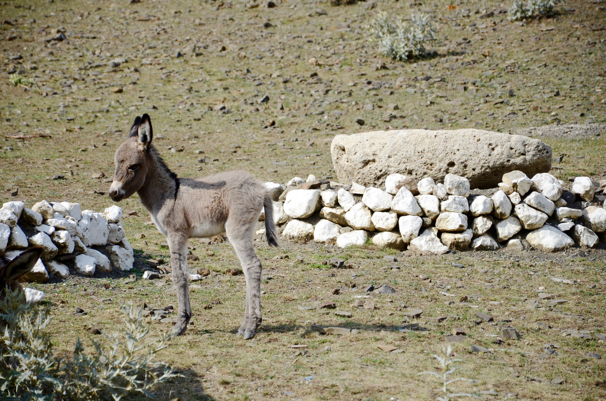 azerbaijan travel Xinaliq donkey